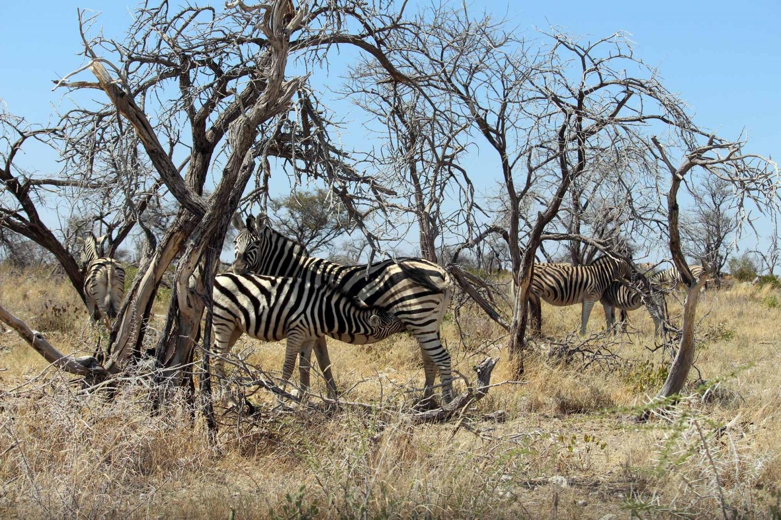 Eigentlich kann das junge Zebra schon selbst fressen...