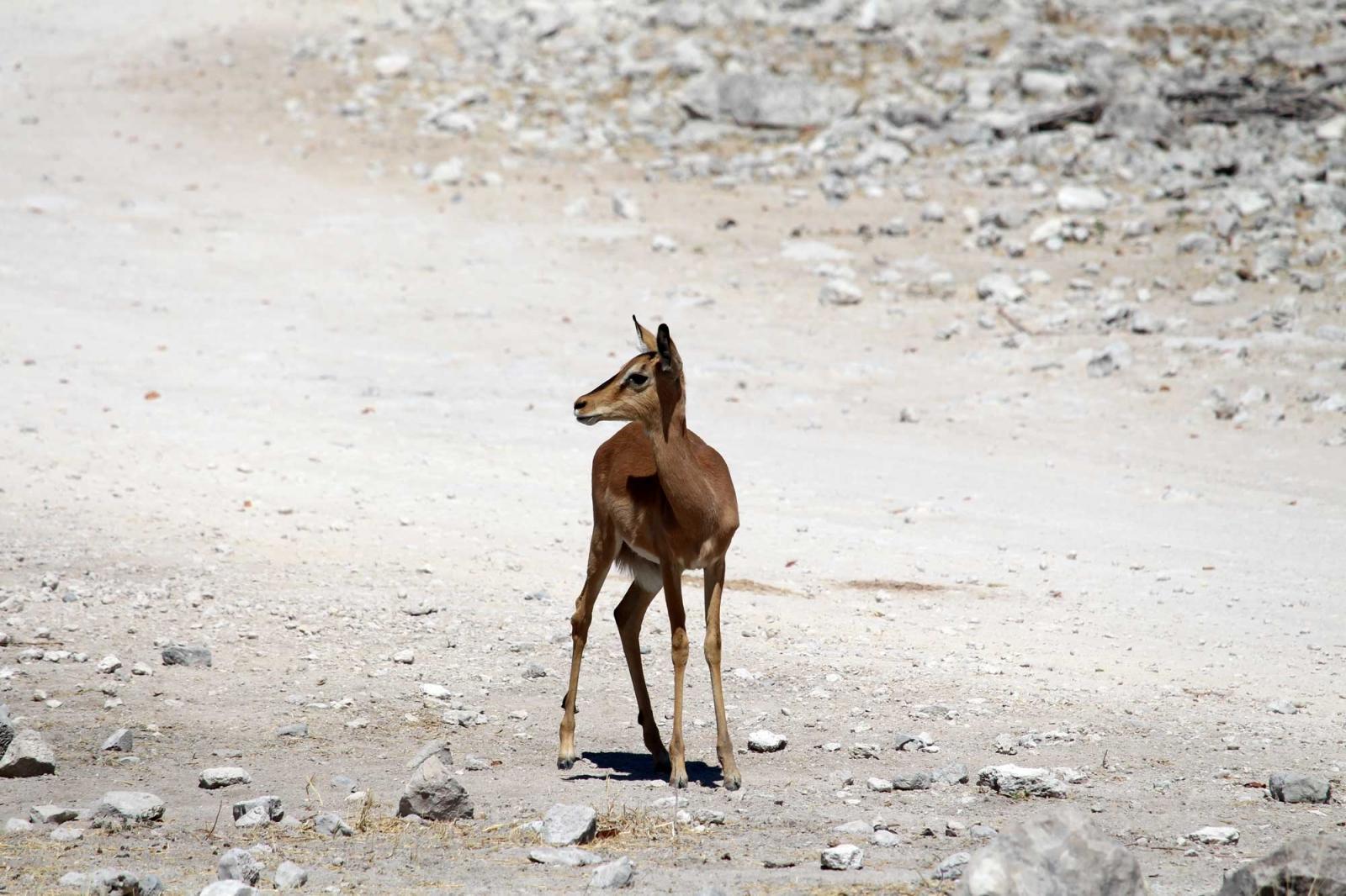 Eine junge Hirschantilope hält Ausschau nach der Mutter