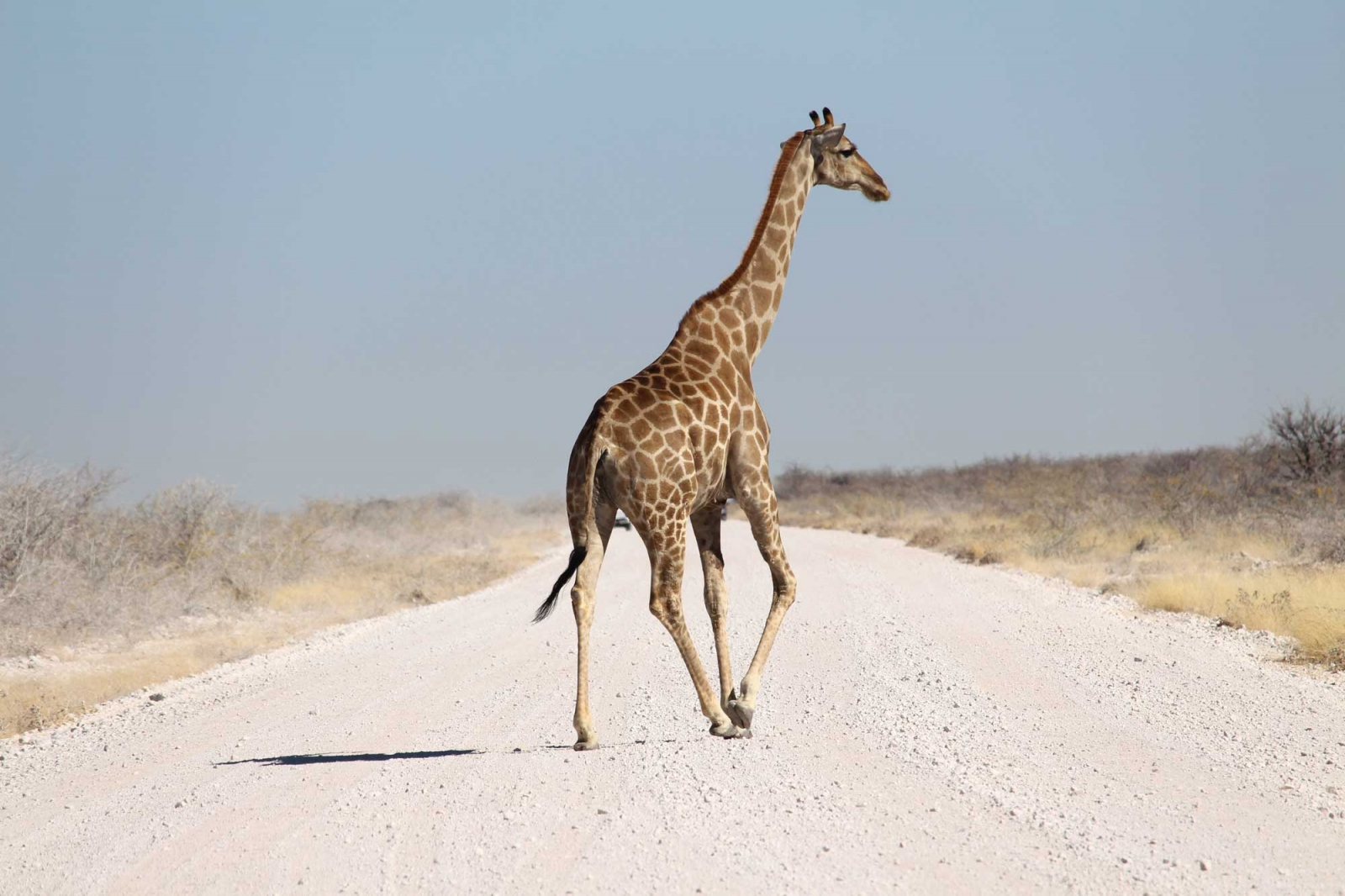 Eine sehr elegante Giraffe