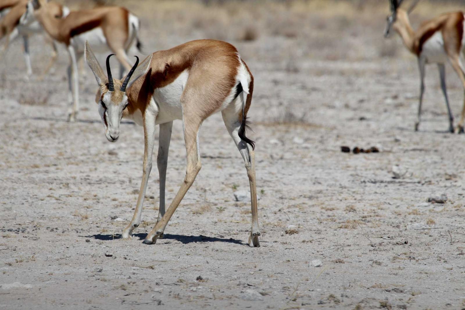 Das anmutige Impala, bevorzugte Löwenbeute