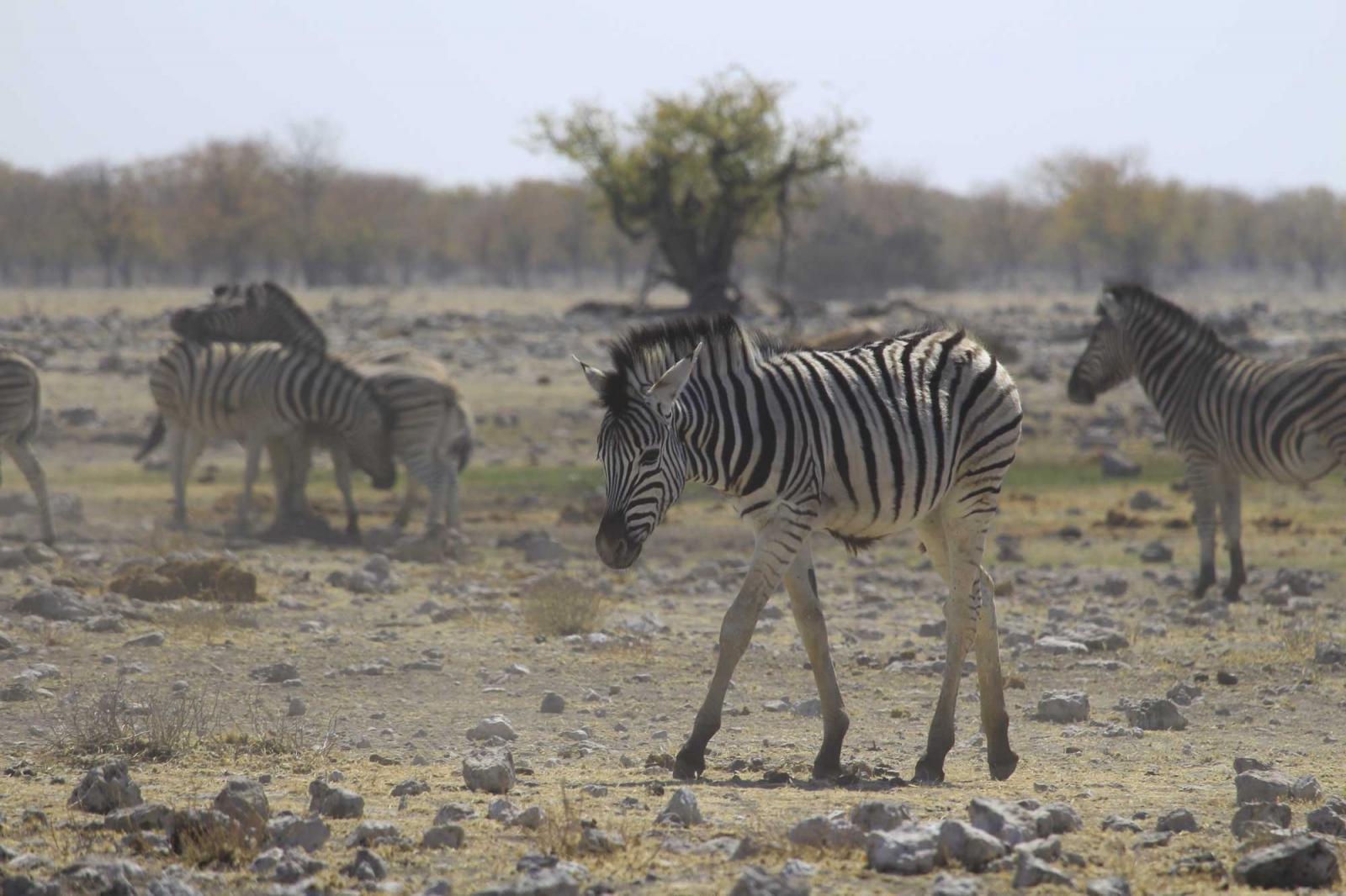 In der Trockenheit haben selbst Zebras zu kämpfen, vor allem die jungen.
