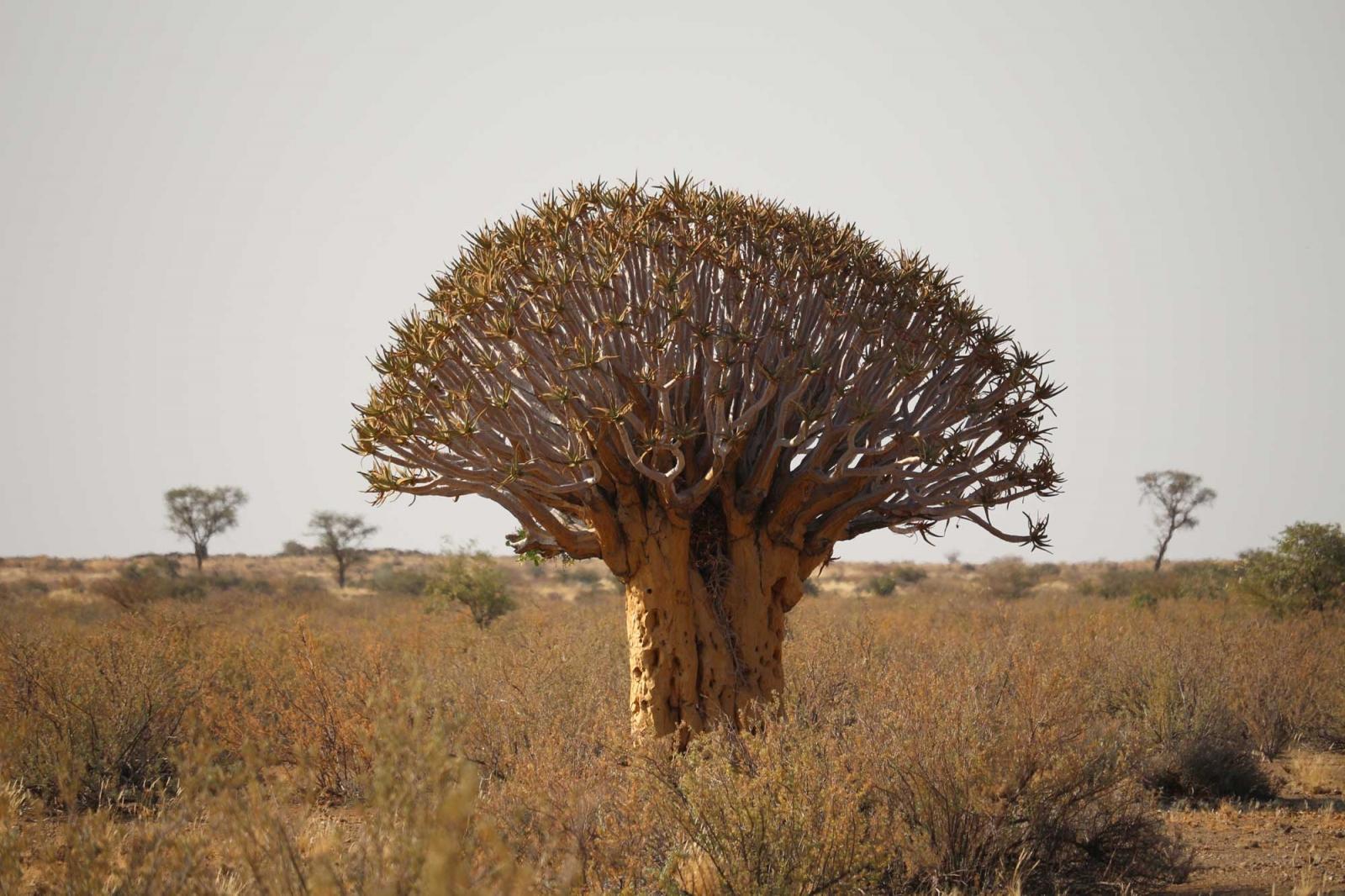 Der Köcherbaum, eine Meisterleistung der Evolution