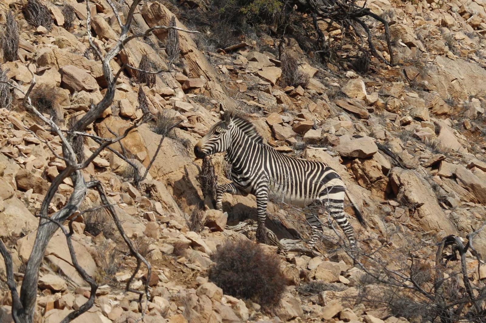 Das Bergzebra, ein extrem scheues Tier mit unglaublicher Trittsicherheit